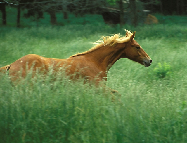 8T1301 Young horse running near Ste. Genevieve, MO