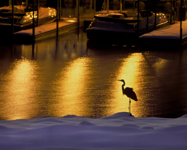 Great Blue Heron in Winter